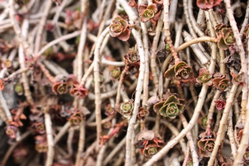succulentes en hiver