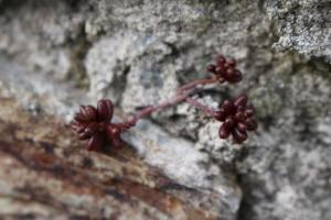 succulentes sedum rouge