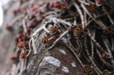 succulentes crassula