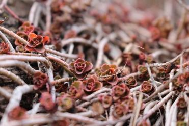 succulentes rouges