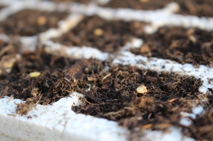 semis poivrons
