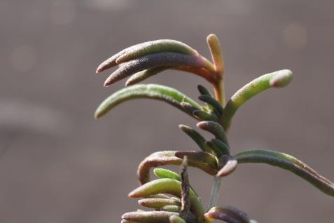 bouturer ses succulentes