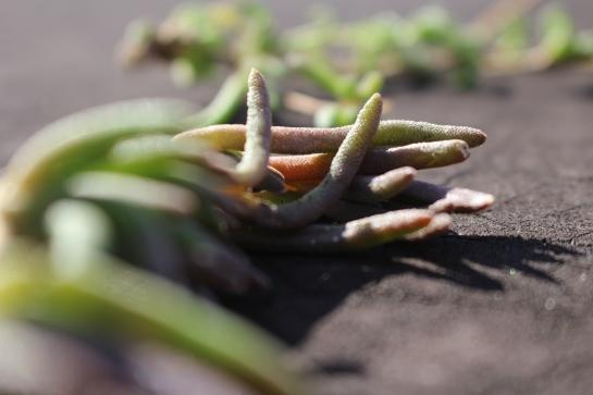 bouture des succulentes