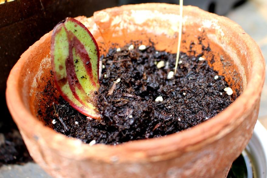bouture echeveria nodulosa