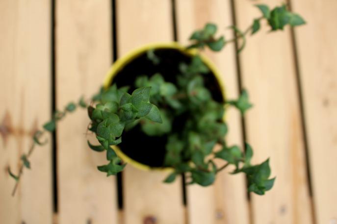 bouturer des succulentes