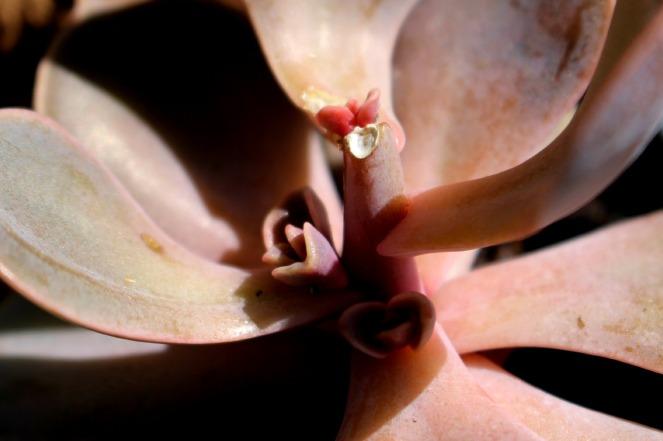 détail succulente crassula