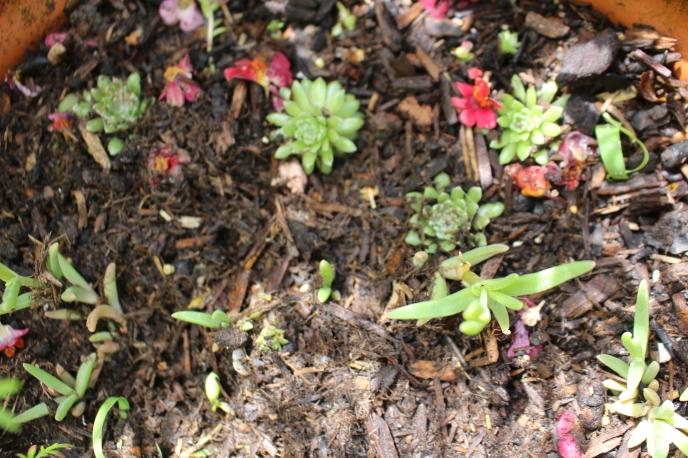 maternité de succulentes