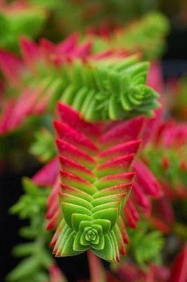 succulente crassula capitella