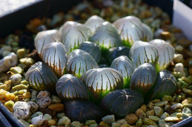 succulentes haworthia obtusia