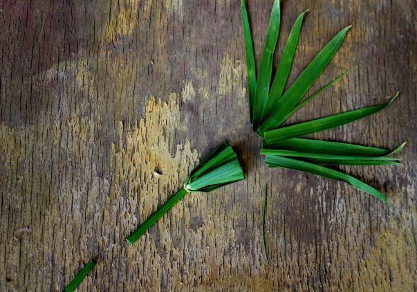 bouturage papyrus