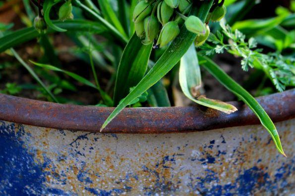 plantes et  bidon rouillé