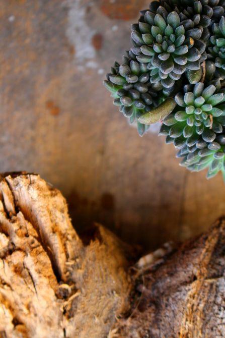 succulentes new
