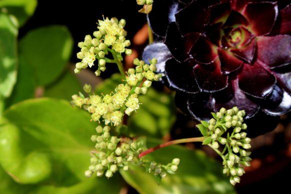 succulentes en fleur