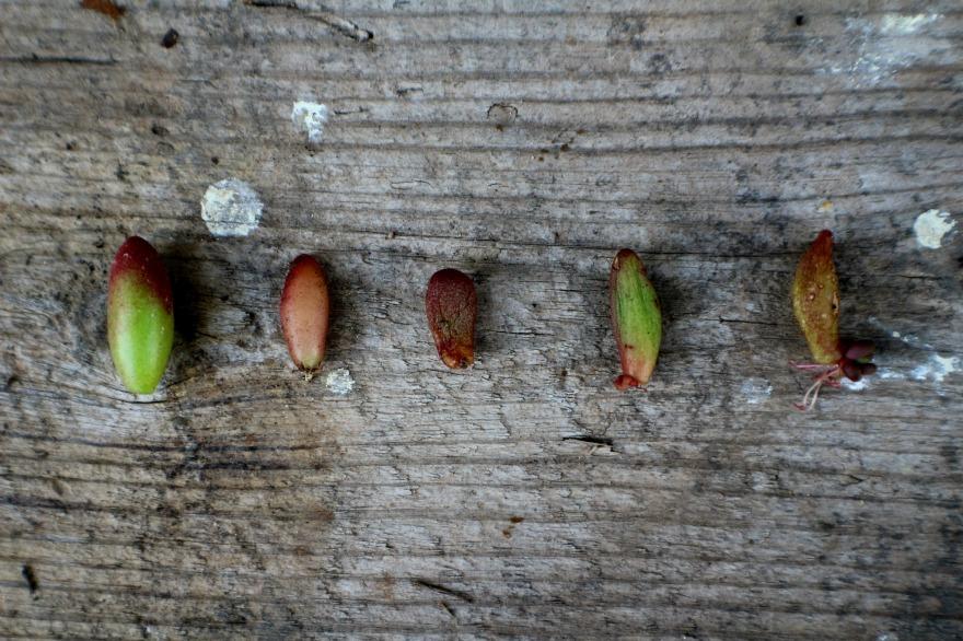 multiplier une succulente le sedum